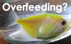 overfeeding fish